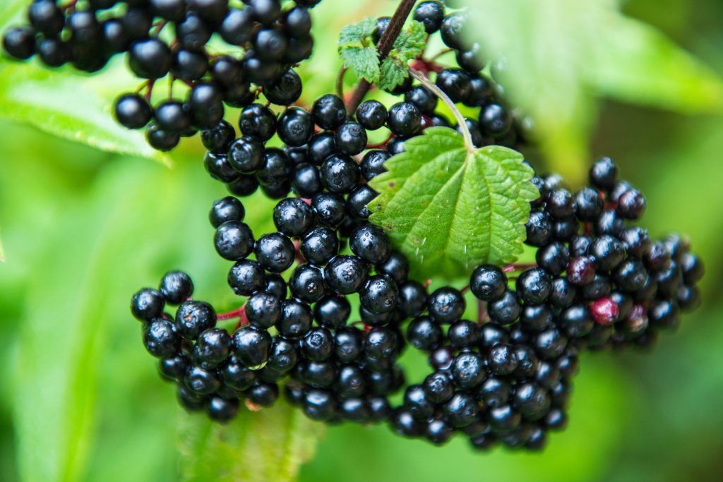 Elderberry for cold and flu